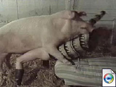 Pig Hard Fucks Woman - Video